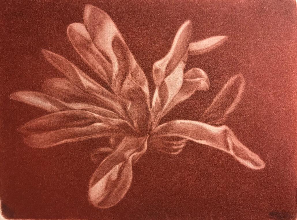 Mezzotinte af stjerne-magnolia